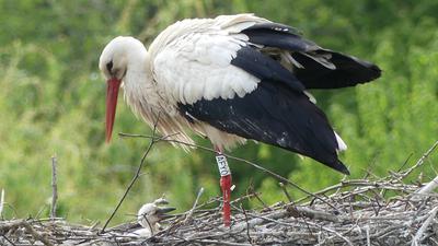 Linkenheim-Hochstetten - Ein wenig Geduld ist vonnöten, wenn man im Vogelpark Linkenheim den Hals reckende Jungstörche im Nest beobachten will. Am besten gelingt mithilfe eines Fernglases.