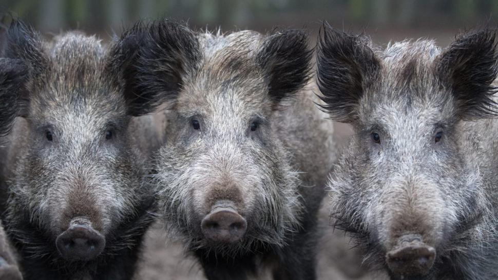 Im Visier: Um die Schweinepest fernzuhalten, will Baden-Württembergs Landwirtschaftsminister Peter Hauk den Wildschweinen mit einem 12-Punkte-Plan zu Leibe rücken. Foto: dpa
