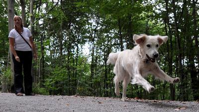 """ARCHIV - Ein Hund der Rasse Golden Retriever rennt am 24.09.2009 im Stadtwald von Stuttgart ohne Leine auf einem Weg. Stadthunde in Hessen dürfen vor der Haustür nicht herumtoben wie es ihnen gefällt. Für alle Hunde in den großen hessischen Städten gilt: Gassi gehen niemals ohne Leine, auch in Parks und Grünanlagen, wie eine dpa-Umfrage ergab. Bei Verstößen drohen Bußgelder, deren Höhe beträchtlich schwankt. Foto: Bernd Weißbrod dpa/lhe (zu lhe-Umfrage: """"Für Stadthunde: Gassi gehen nur an der Leine"""" vom 10.10.2009) +++ dpa-Bildfunk +++"""