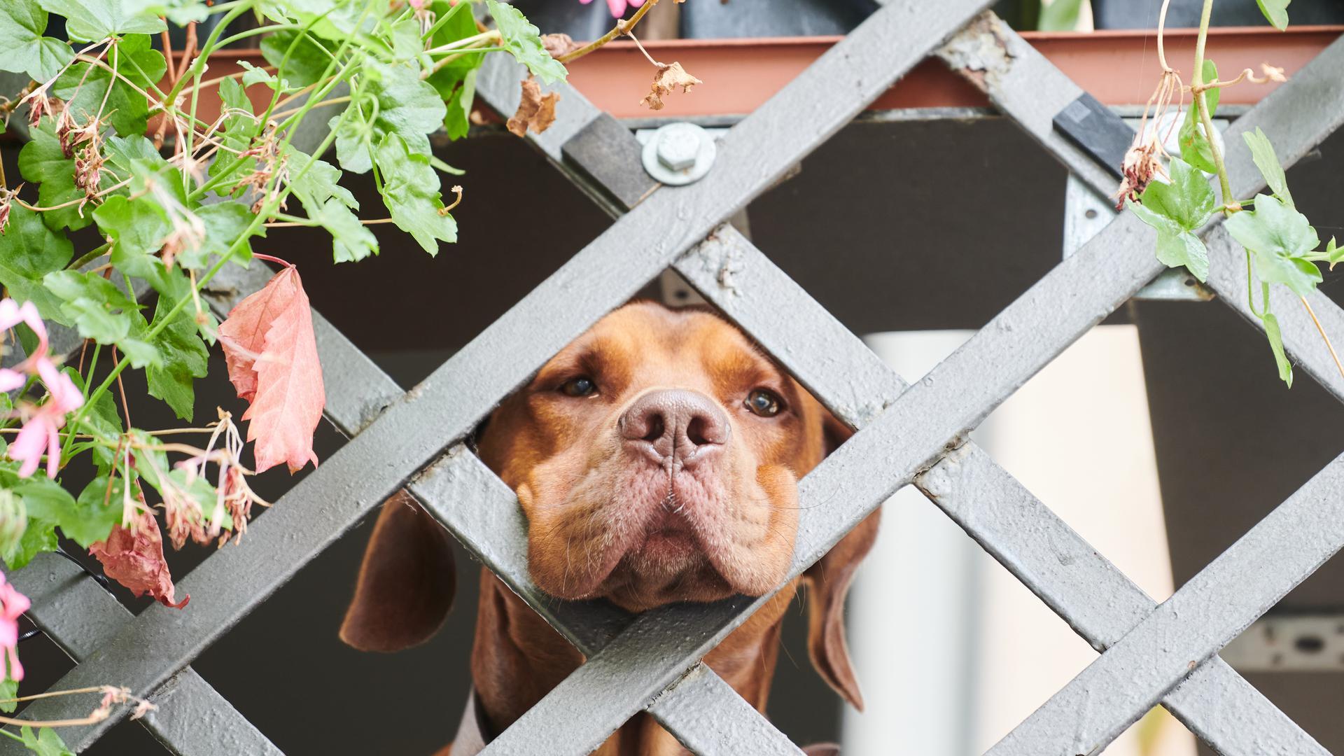 Bram, ein 2-jähriger Vizsla-Labrador Mischling, wartet auf sein Herrchen, der in Kürze mit ihm Gassi geht. Garantierter Auslauf, ausreichend Betreuungszeit für Welpen: Bundeslandwirtschaftsministerin Klöckner (CDU) will strengere Regeln für Tiertransporte und Hundezüchter erlassen. Tierschutz- und Hundehalterverbände begrüßen den Vorstoß grundsätzlich. Für einige könnte er aber noch weiter gehen. +++ dpa-Bildfunk +++
