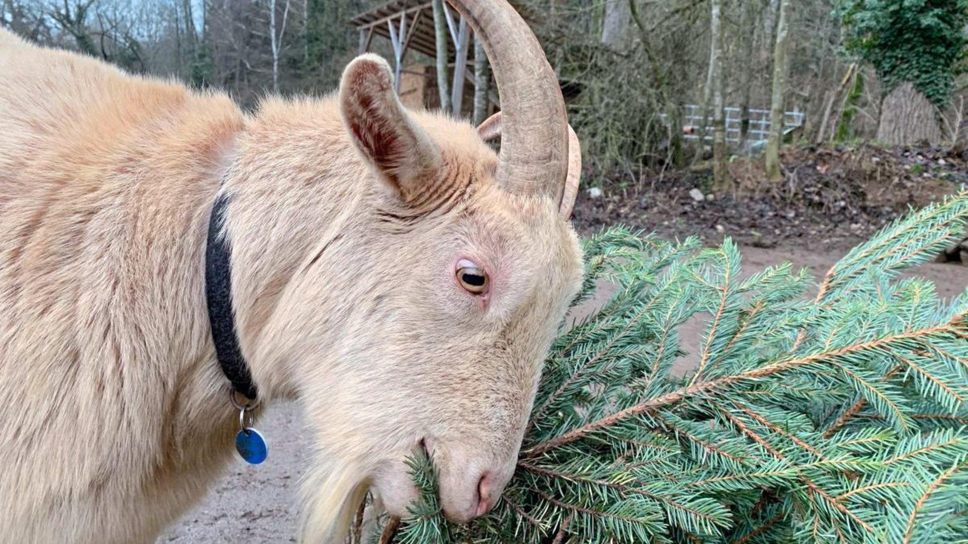 Eine nachweihnachtliche Freude ist dem Geißbock Bernd der Verzehr eines biologisch aufgewachsenen Christbaums.
