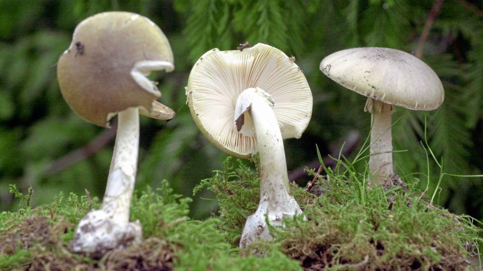 """""""Das ist der giftigste Pilz in unseren Breitengraden. Ein halber Fruchtkörper reicht aus, um einen Erwachsenen zu töten."""""""
