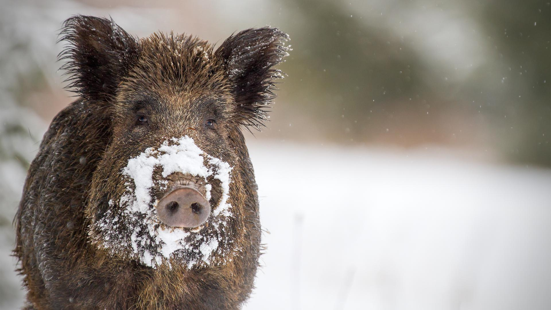 Auch im Winter kommen Wildschweine in den Karlsruher Wäldern gut über die Runden.
