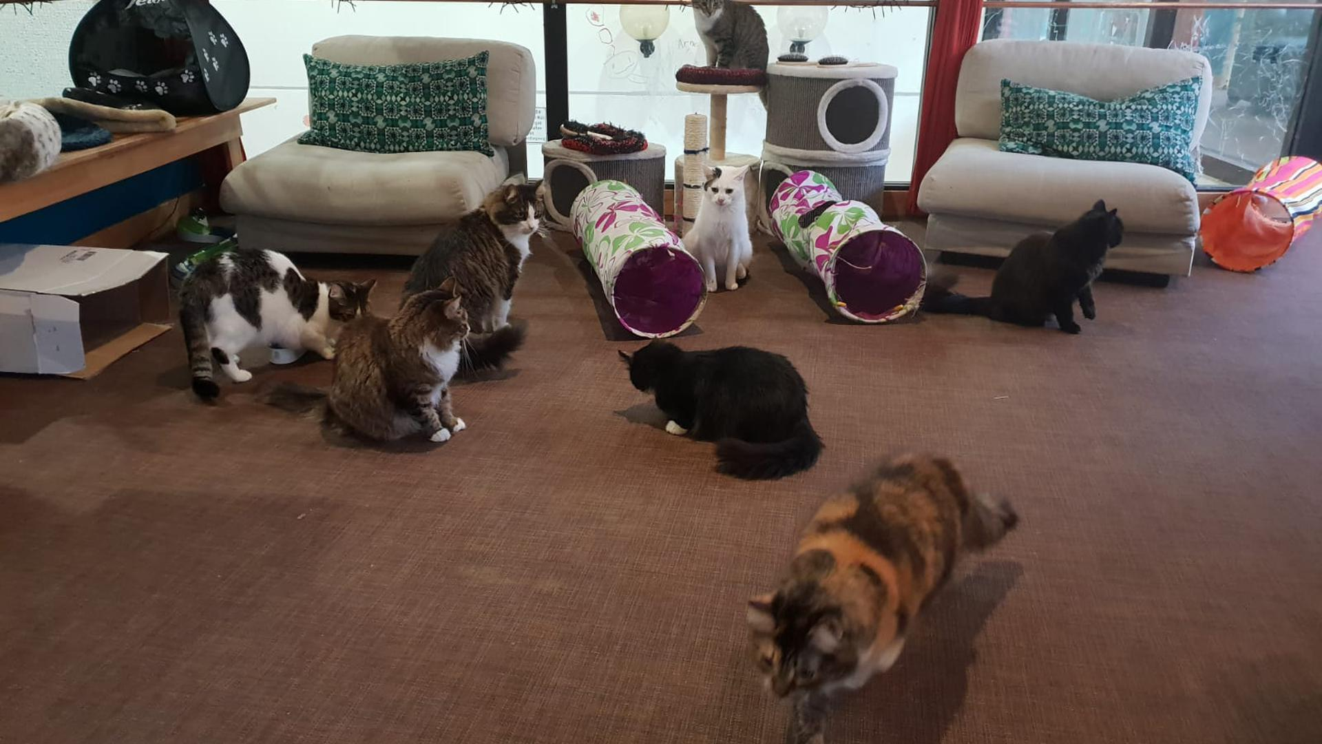 Mehrere Katzen sitzen in der Spielecke des Katzencafés zwischen Kratzbäumen und Spieltunneln.