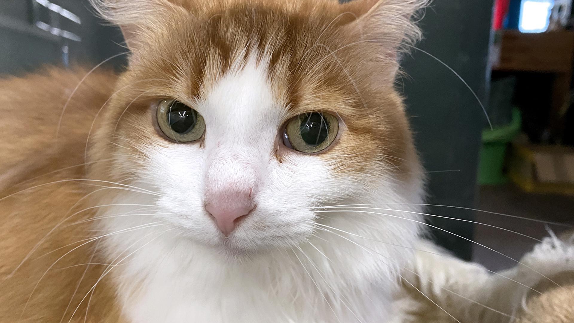 Eine Katze mit rot-getigertem Fell blickt in die Kamera.