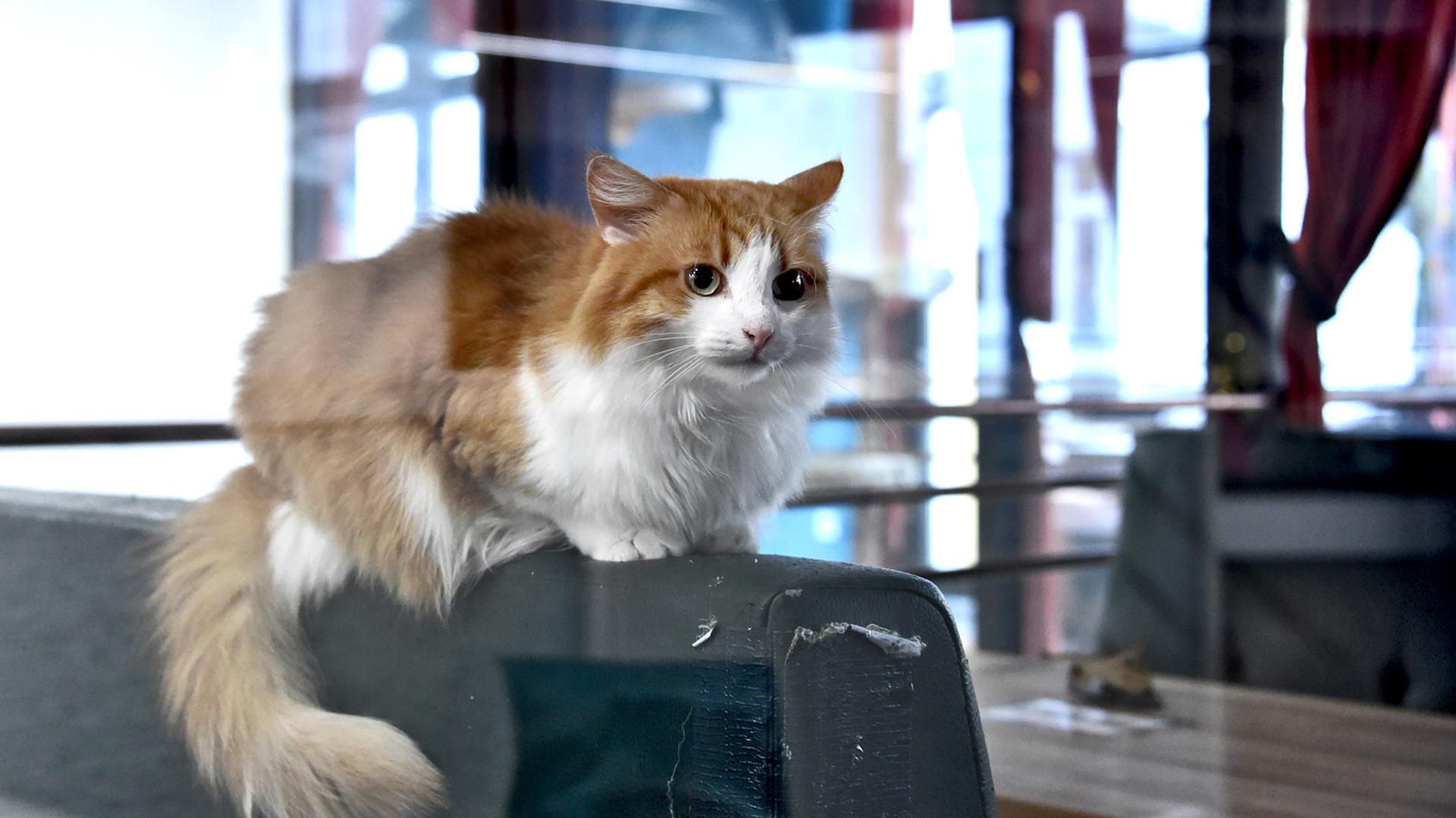 Eine rote Katze sitzt auf der Lehne eines Café-Sessels und blickt durch das Fenster nach draußen.