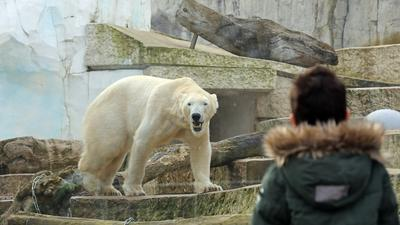 Eisbär im Zoo Karlsruhe.