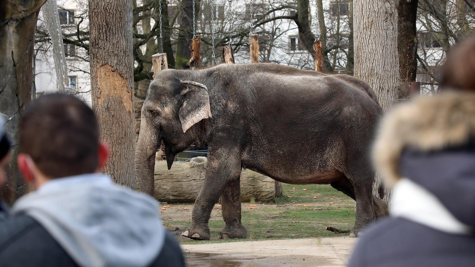 Elefantendame Nanda im Zoo.