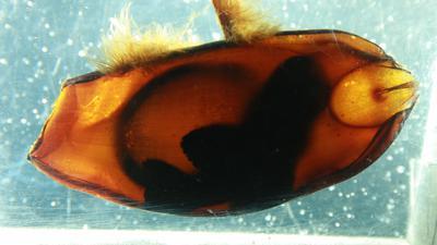 Ei eines Bambushais, Embryo zu sehen
