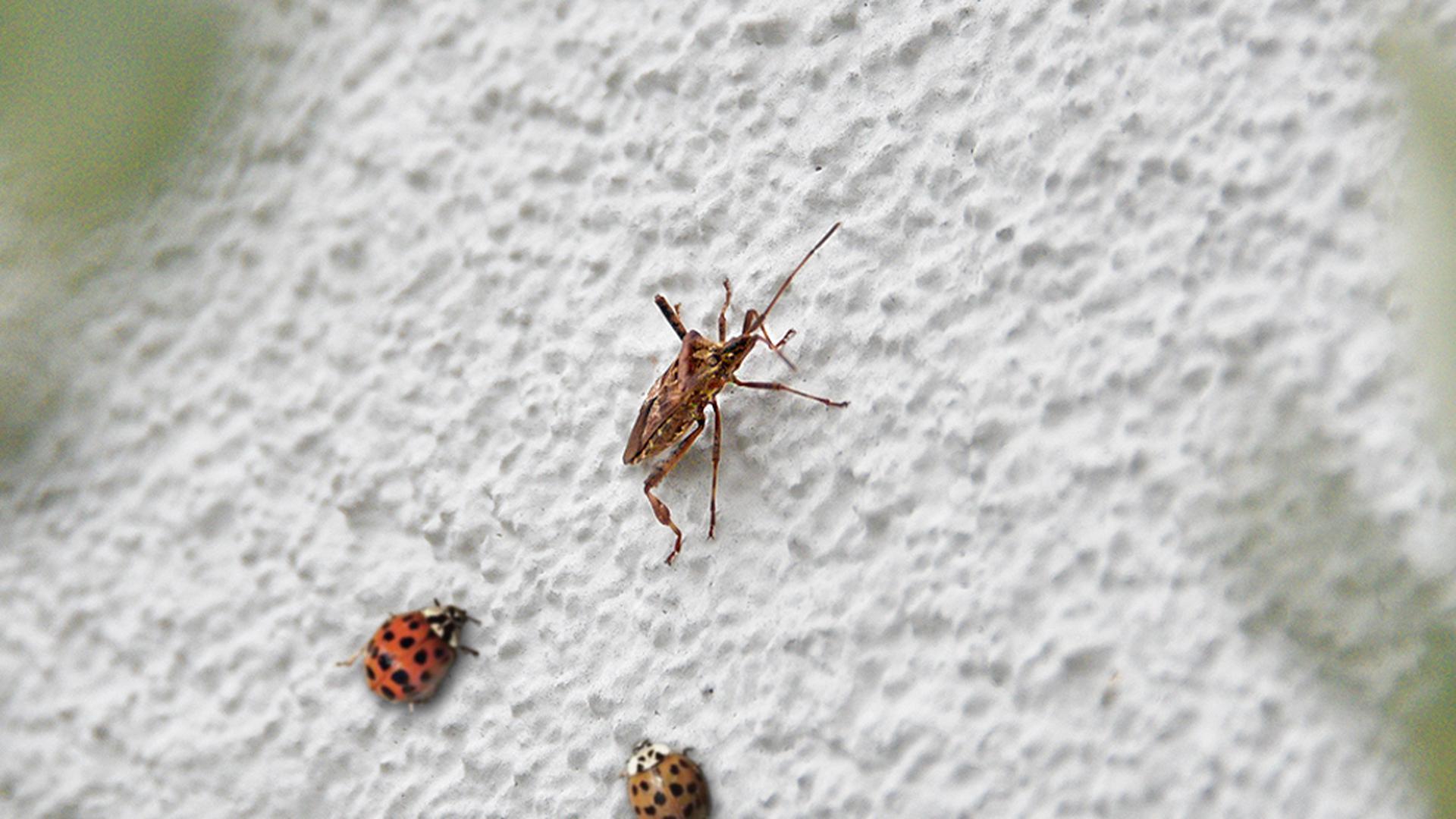 Einträchtiges Beieinander: Nicht nur Marienkäfer, auch Wanzen halten sich im Herbst gern auf Hausfassaden auf.