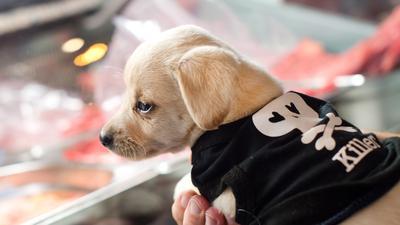 Ein Hundewelpe sitzt am 04.02.2016 im Barfshop von Anne Kroenke in Berlin auf dem Arm einer Kundin. Barf steht für - «Bones and raw foods» (Knochen und rohes Futter) eine Methode, die sich an den Fressgewohnheiten von Wildhunden orientiert. Foto: Monika Skolimowska/dpa (zu dpa «Rehkopf statt Fertigfutter: Frischfleisch für den Hundenapf» vom 05.04.2016) ++
