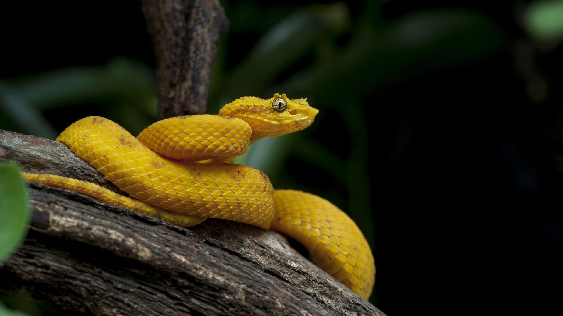 Mit einem Biss verabreicht sie ein hochwirksames Gift, das Blut, Gewebe und Nerven gleichermaßen angreift: die gelbe Greifschwanz-Lanzenotter (Bothriechis schlegelii).