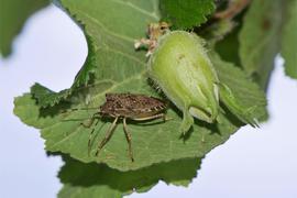 Unser Bild zeigt eine Marmorierte Baumwanze, die sich auf einem Blatt neben einer noch nicht ganz reifen Haselnuss niedergelassen hat.