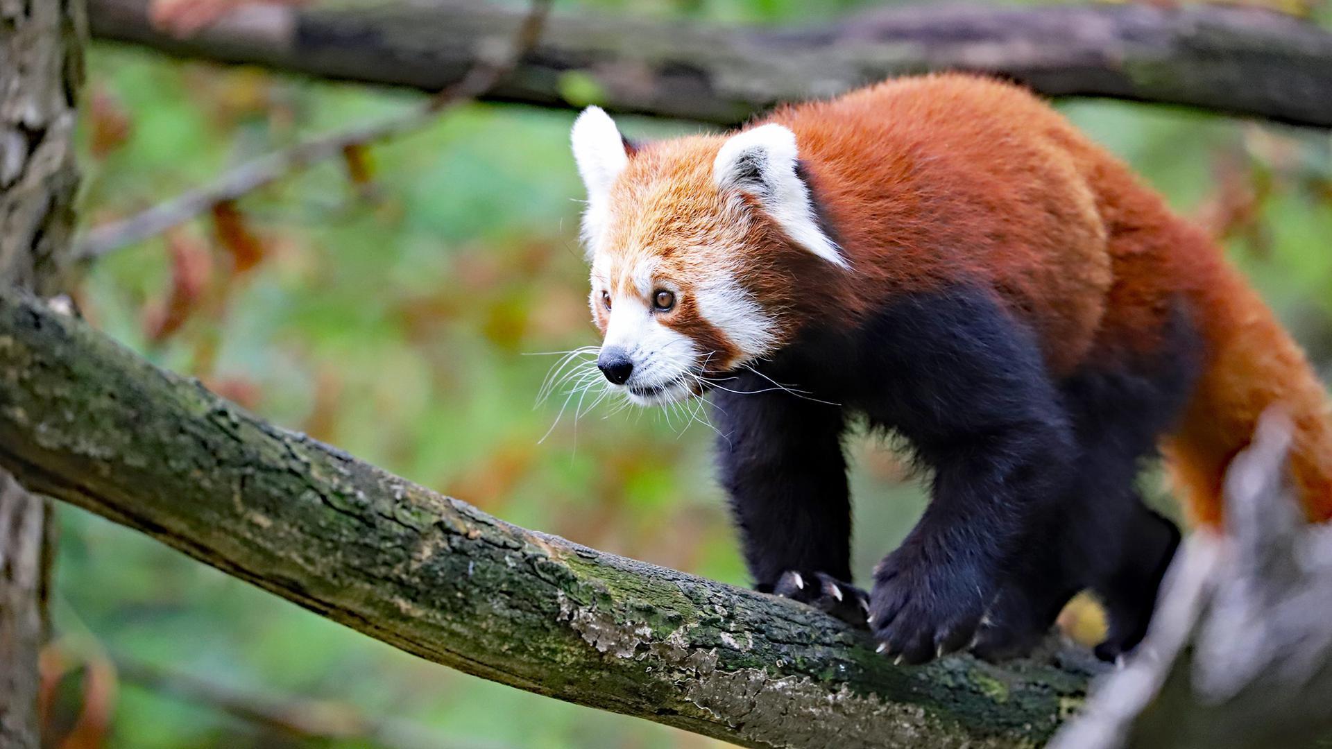 Der Rote Panda Amod sitzt auf einem Ast.