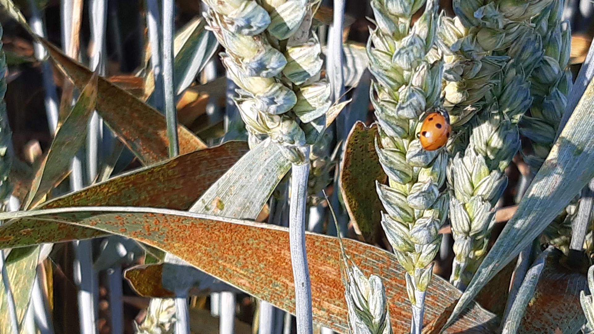 Blattkrankheit Rostpilz: Computergestützte Prognosen geben wertvolle Hinweise über das zeitliche und räumliche Auftreten von Pilzkrankheiten in Getreidebeständen.