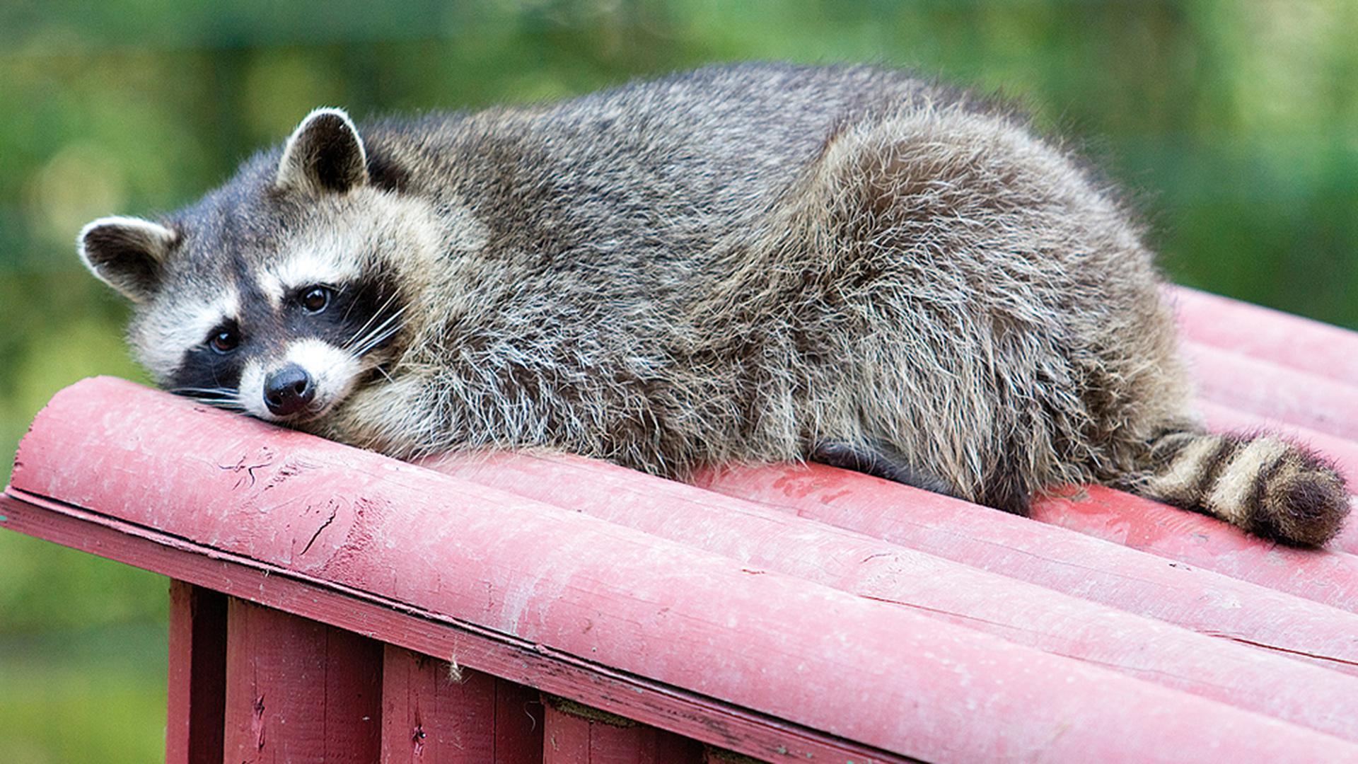 Ein Waschbär schläft auf seinem Häuschen im Kurpfalz-Park im pfälzischen Wachenheim.