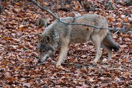 Ein Wölfin im Alternativen Bären- und Wolfspark Bad Rippoldsau.