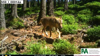 Ein Wolf läuft durch den Nordschwarzwald.