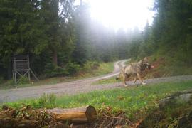 Der Wolf GW852m läuft mit einem Beutetier durch den Nordschwarzwald.