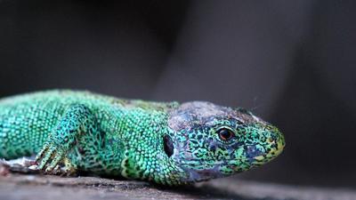 Reptil des Jahres 2020 Zauneidechse im NSG Ers Springenhalde_ Untergrombach