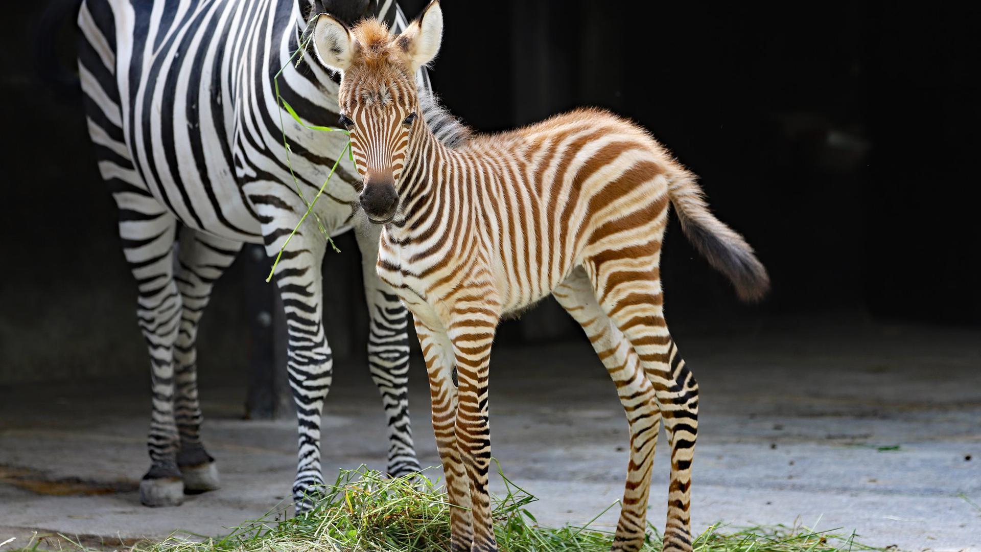 Das Zebra-Fohlen ist das erste Baby, das in diesem Jahr bei den Zebras geboren wurde.