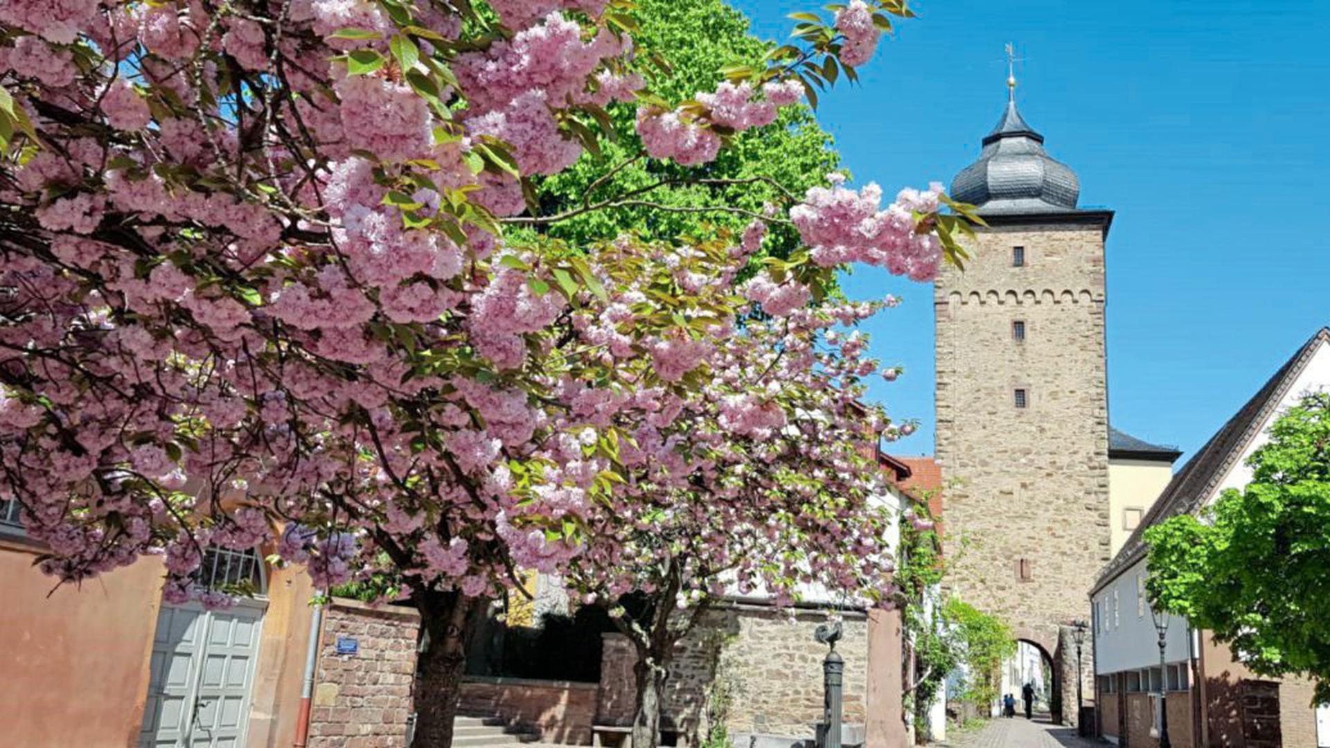 Die Kirschsorte, die am Basler-Tor in Karlsruhe Durlach steht, gehört zu den Spätblühern. Das Bild zeigt die Blüte 2019.