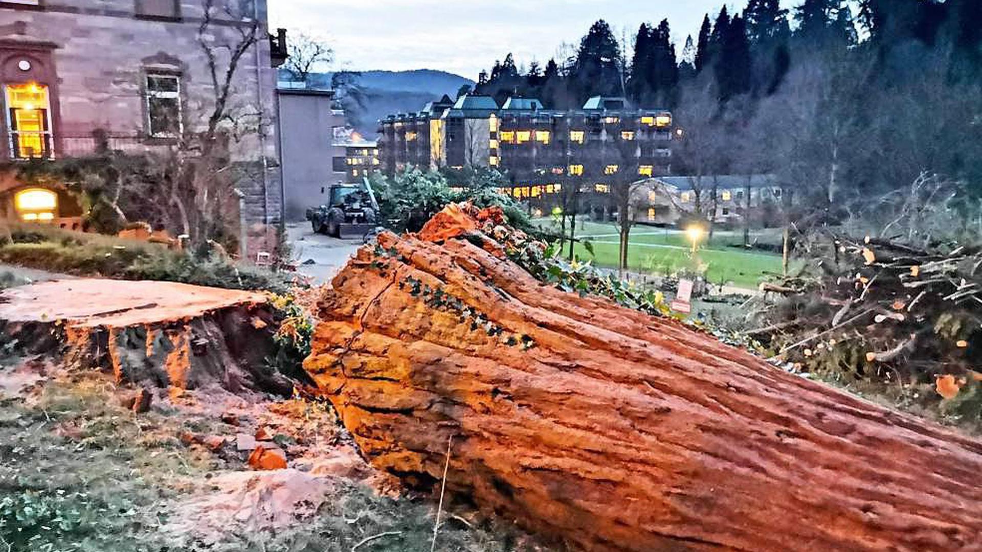 Auf dem Areal des Ludwig-Wilhelm-Stifts wurde der mächtige Mammutbaum gefällt. Er stand im Parkwald des Grundstücks.