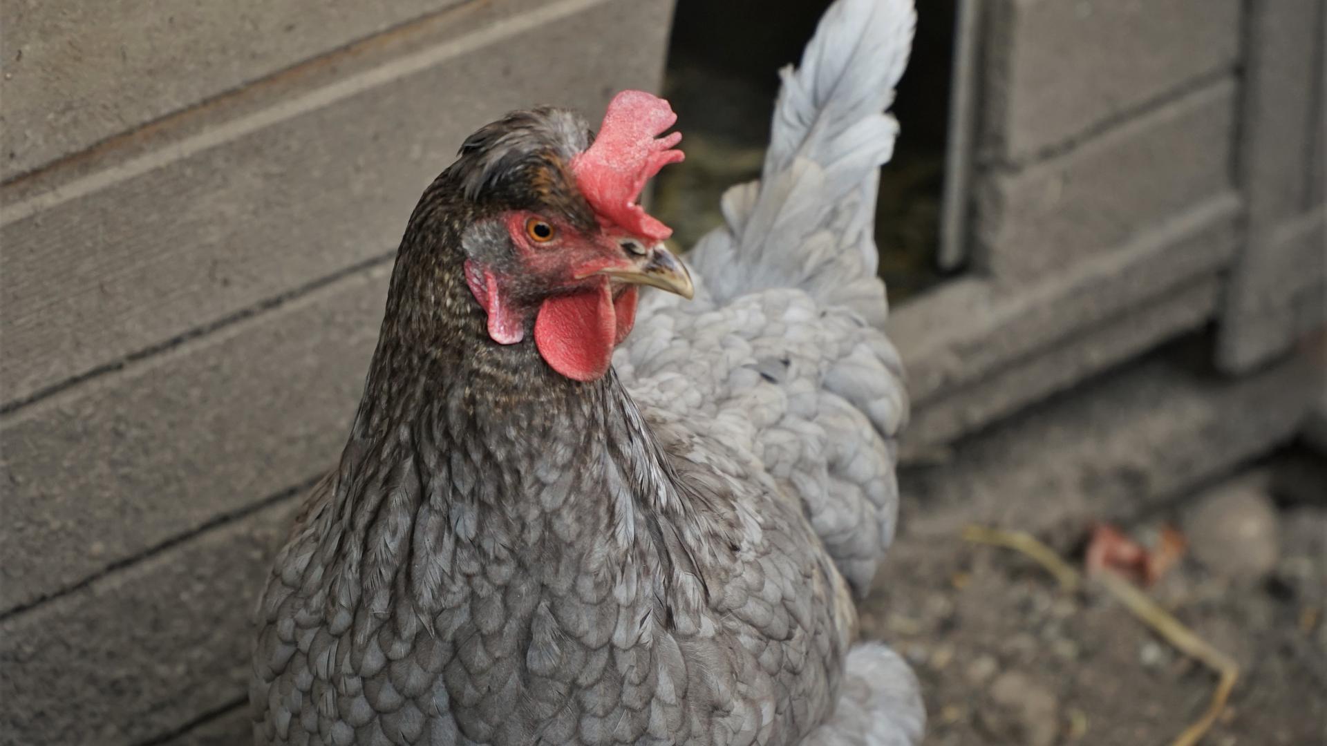 Hühner im eigenen Garten: Bei Familie Gatzenmeyer gackern gleich sechs Tiere auf dem Grundstück. Viele Privatleute wollen Eier aus eigener Produktion.