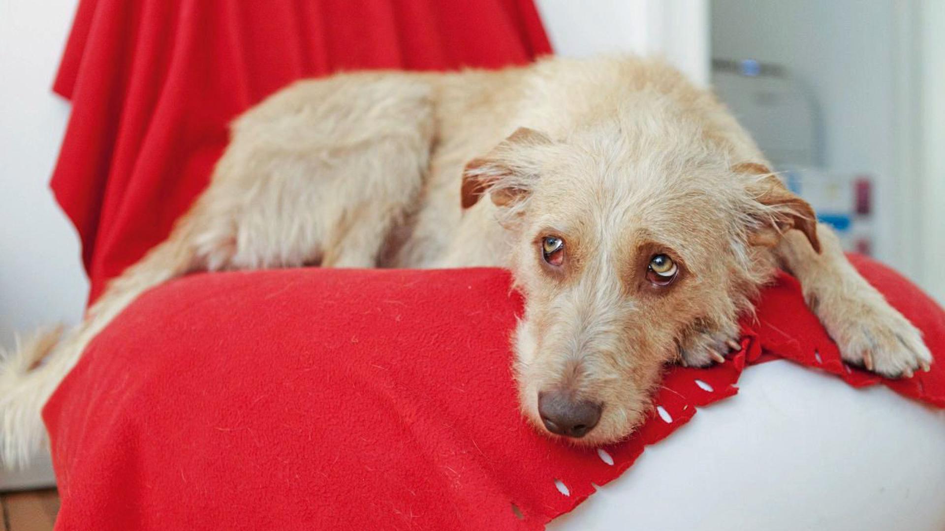 Ist der Hund schlapp, trinkt und schläft er viel, ist das ein Zeichen für Fieber.