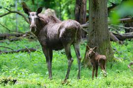 Eine Elchkuh und ein Jungtier stehen im Tierpark Oberwald in Karlsruhe