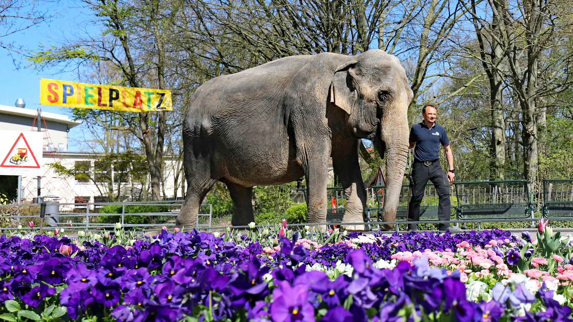 Revierleiter Robert Scholz spaziert mit Elefantenkuh Nanda durch den Karlsruher Zoo.