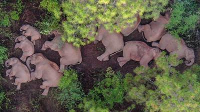 Eine Elefantenherde liegt am Boden und schläft. Eine umherwandernde Herde von 15 asiatischen Elefanten sorgt derzeit in China für Aufsehen.