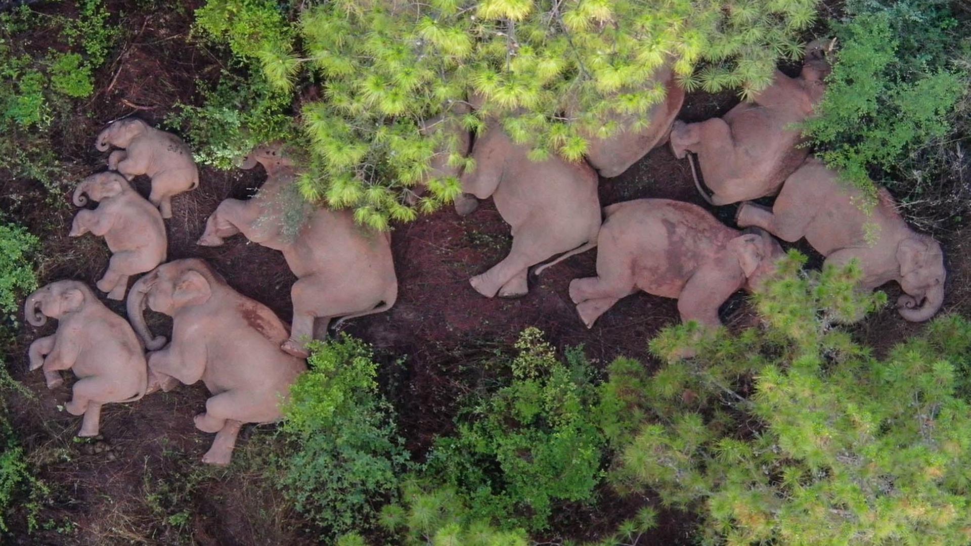 Eine Elefantenherde liegt am Boden und schläft.