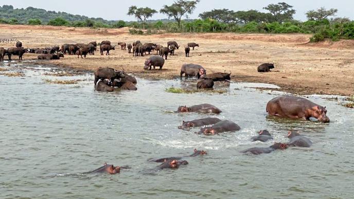 Flusspferde und Büffel