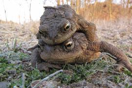 Auf Hochzeitsreise: Ein Erdkröten-Paar ist unterwegs zum Laichgewässer. Dabei lässt sich das kleinere Männchen gerne vom größeren Weibchen tragen.