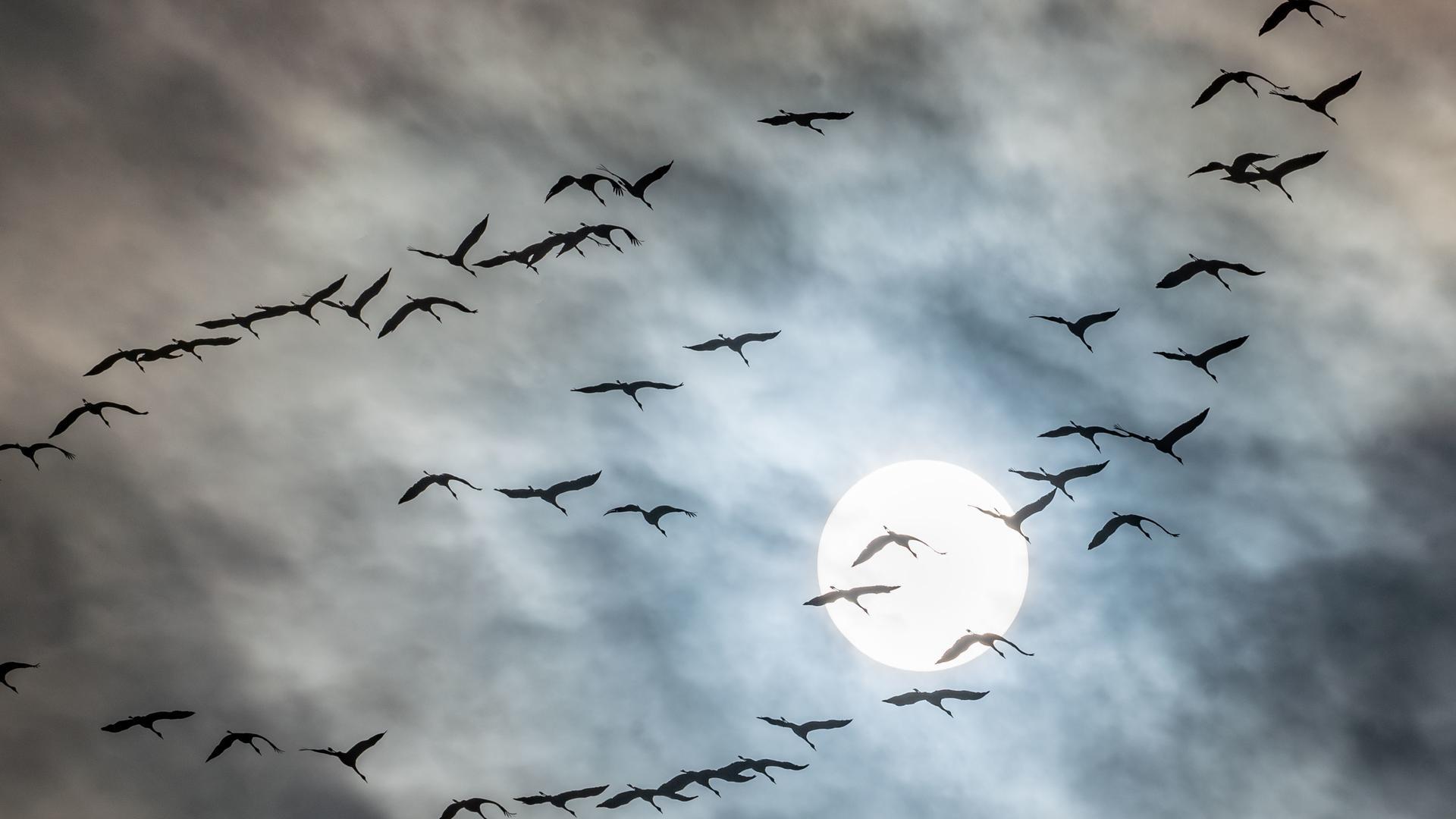 ARCHIV - 29.10.2019, Hessen, Falkenstein: Kraniche nutzen auf ihrem Weg nach Süden bei leichtbewölktem Himmel die Aufwinde am Taunusrand. (zu dpa: «Zugvögel bereits auf dem Weg in die Winterquartiere») Foto: Frank Rumpenhorst/dpa +++ dpa-Bildfunk +++ | Verwendung weltweit