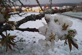 Schneebedeckte Obstblüten am Abend des Ostermontags: Das Foto entstand zwischen Schluttenbach und Schöllbronn. Im Hintergrund  ist  Schöllbronn zu erkennen.