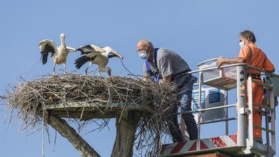 Besuch für die Adebare: Stefan Eisenbarth holt in Neuburgweier drei Storchenkinder aus ihrem Horst, damit sie beringt werden können.