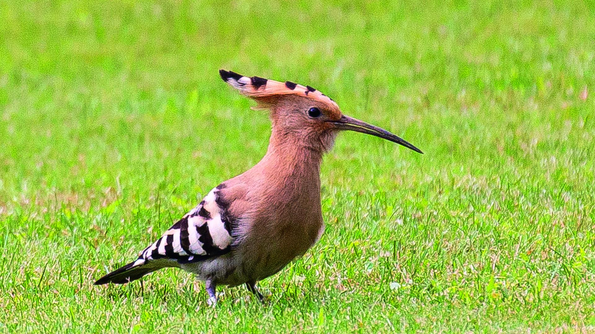 Wiedehopf auf Nahrungssuche: Die seltenen Vögel werden in den letzten Jahren wieder zunehmend beobachtet – hier in einem Schluttenbacher Garten. (Archivfoto)