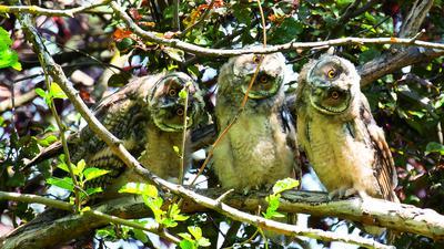 Drei Waldohreulen sitzen auf einem Ast