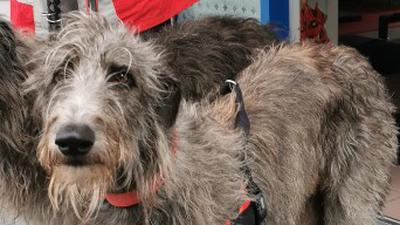 Grauer Hirtenhund mit rotem Halsband