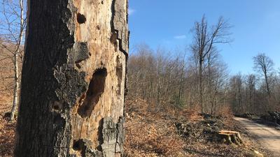 Wertvoller Lebensraum für Insekten: Die Erhaltung von sogenanntem Totholz ist eines der Ziele, die die Stadt Bad Herrenalb in der Bewirtschaftung ihres Gemeindewaldes verfolgt.