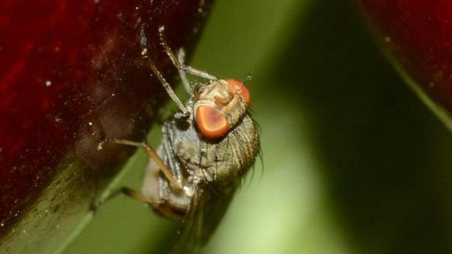 Eingeschleppt: Die Kirschessigfliege gilt als Schadinsekt.