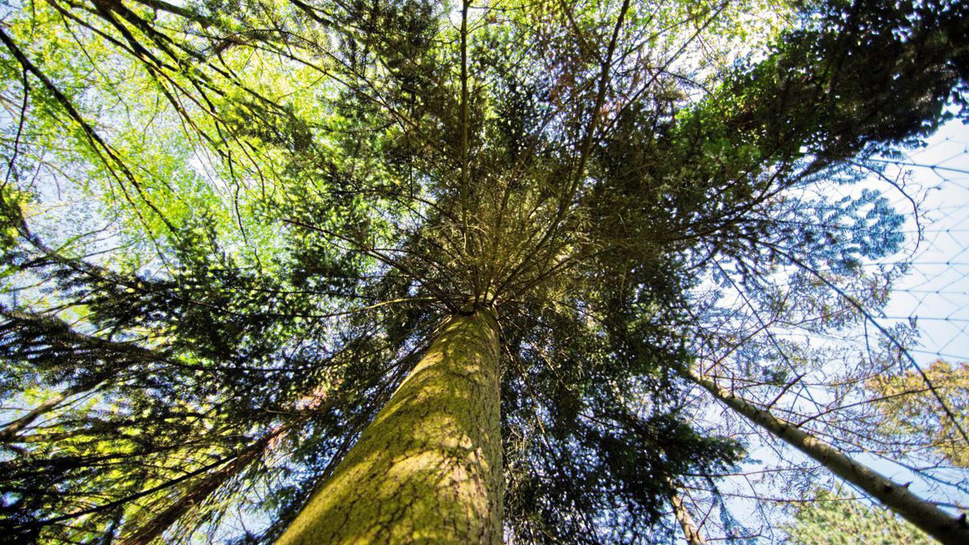 """Die Böden der Fichtenwälder bieten dem gesuchten Sonderling einen guten Lebensraum, denn sie sind zu sauer für seine viel bekannteren und äußerst zahlreich verbreiteten """"gewöhnlichen"""" Verwandten."""