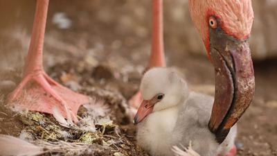 Nachwuchs bei den Zwergflamingos: Im Karlsruher Zoo sind pünktlich vor Ostern zwei Zwergflamingo-Küken geschlüpft.