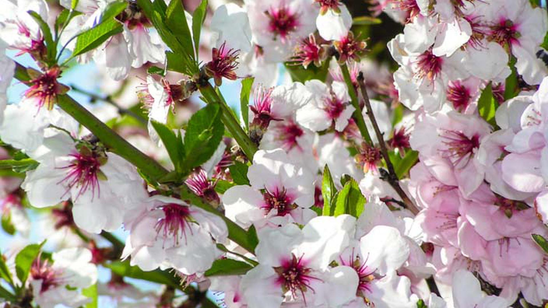 Das Mandelblütenfest in Gimmeldingen ist wegen des Coronavirus abgesagt.