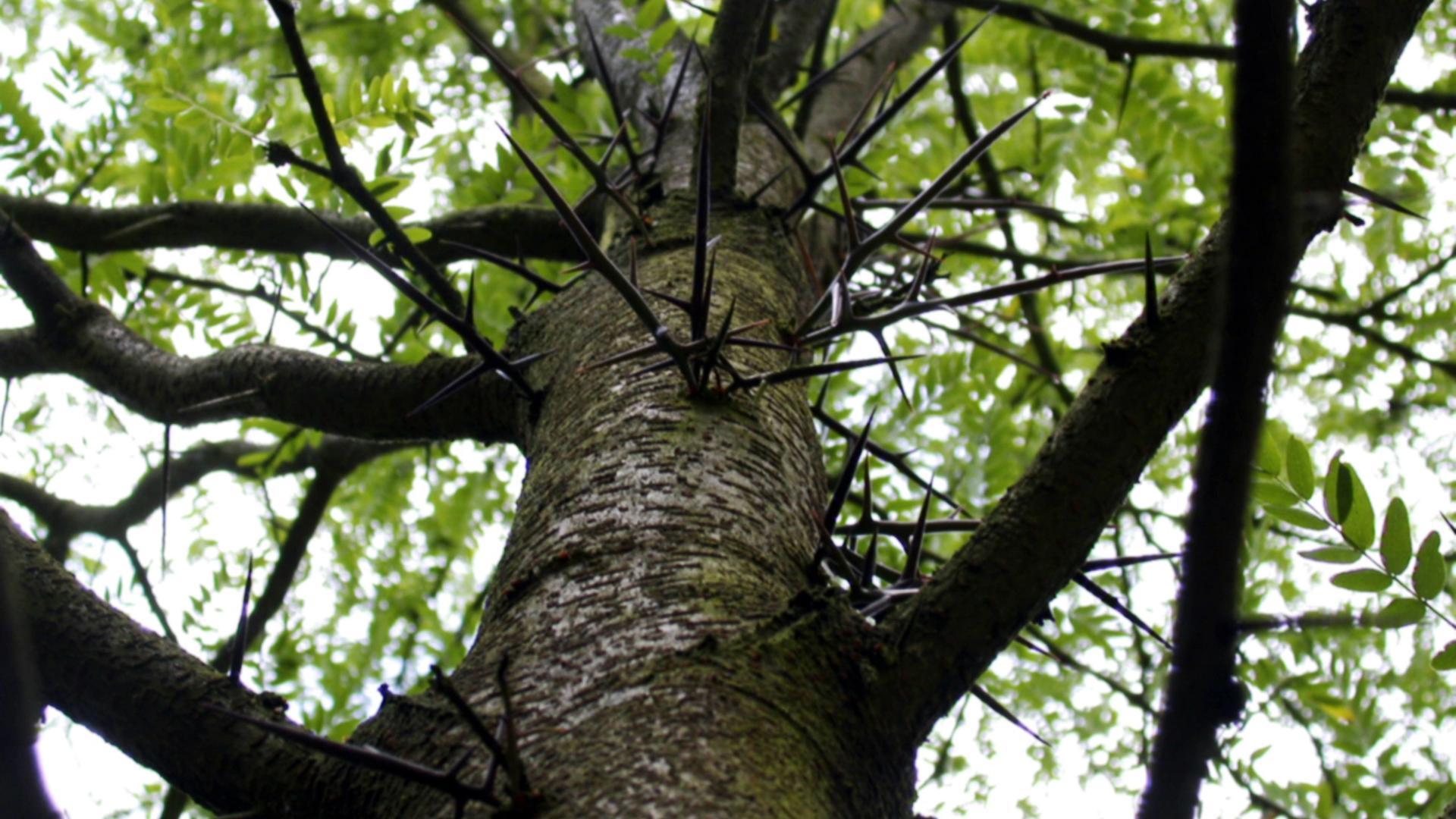 Während der Eiszeit ein bewährtes Mittel gegen Fressfeinde, heute ein Ärgernis am Straßenrand: Die Dornen eines Lederhülsenbaums.