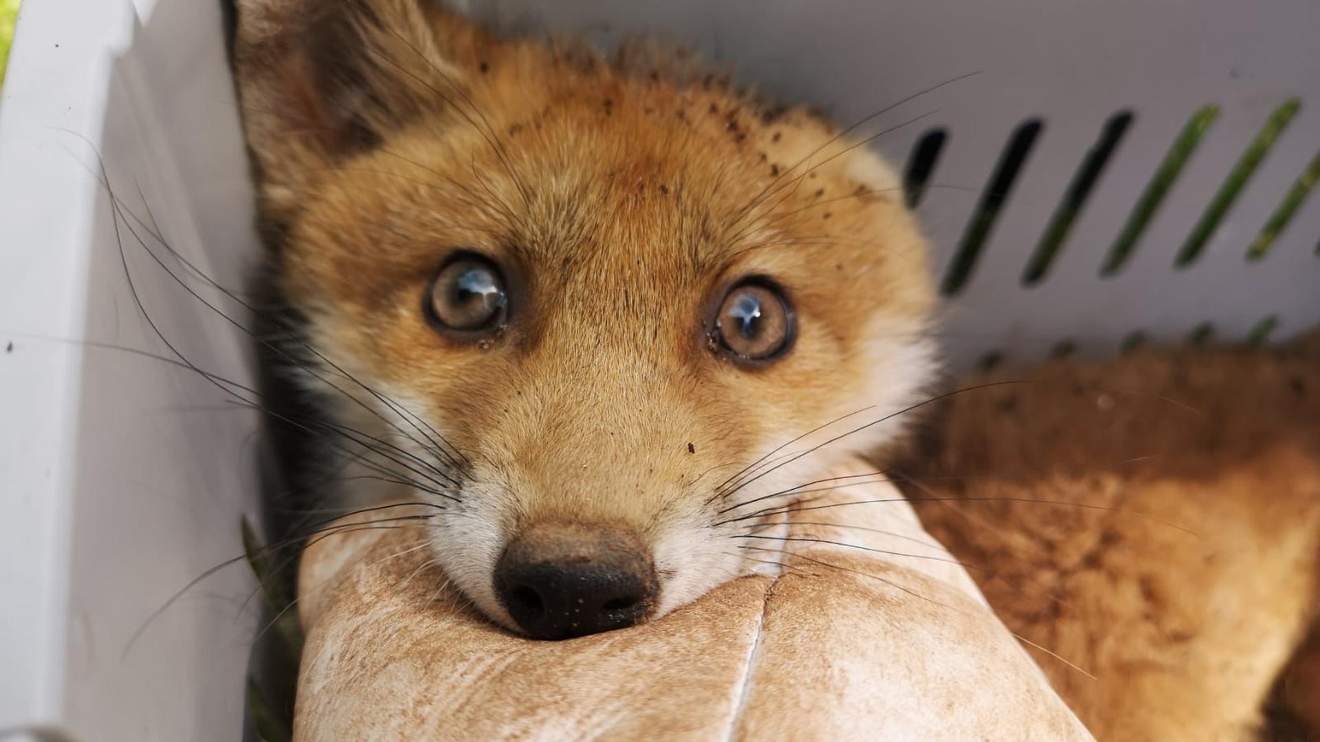 Gerettet: Der kleine Fuchswelpe lebt in einer Auffangstation in Maßweiler.
