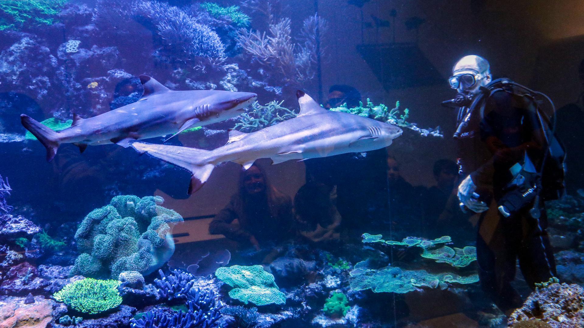 Das Korallenriff im Naturkundemuseum Karlsruhe, an dem die Schwarzspitzen-Riffhaie und ungezählte bunte Tropenfische leben, wurde jahrelang über Nacht angeknabbert. Ein Tauchgang des Aquarienchefs Hannes Kirchhauser hat das nun beendet.