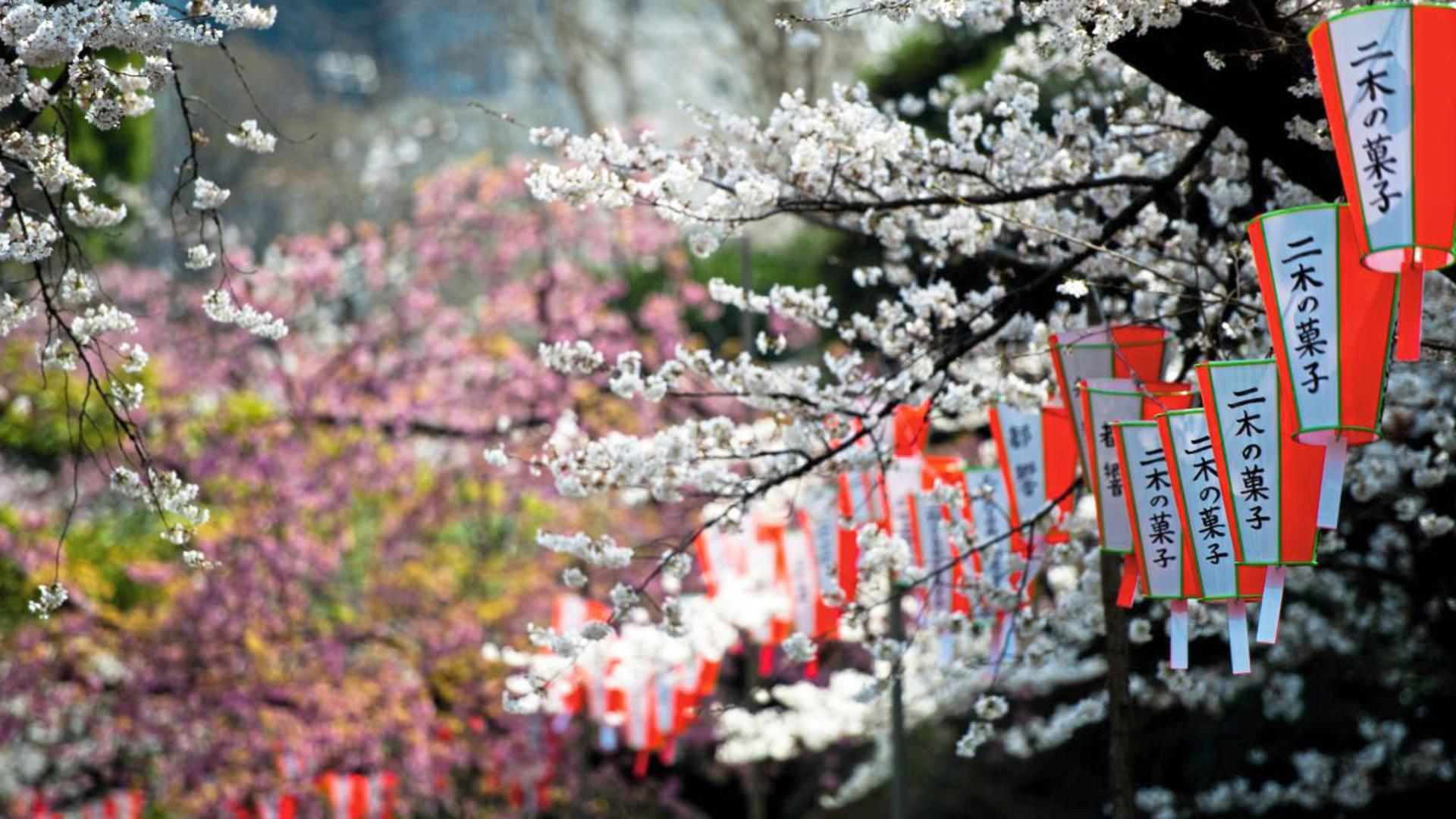 Rosa trifft weiß: Wenn die Sakura blüht, wird in Japan gefeiert.